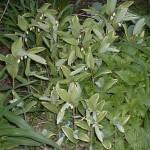 Polygonatum variegatum